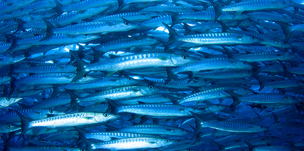 Thick schools of barracuda are often seen at Wakatobi on dive sites such as Zoo. Photo by Wakatobi Dive Resort