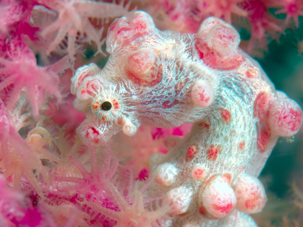One of Wakatobi's famous sea fan resident, the Bargibant pygmy seahorse. photo by Wakatobi guest Richard Smith