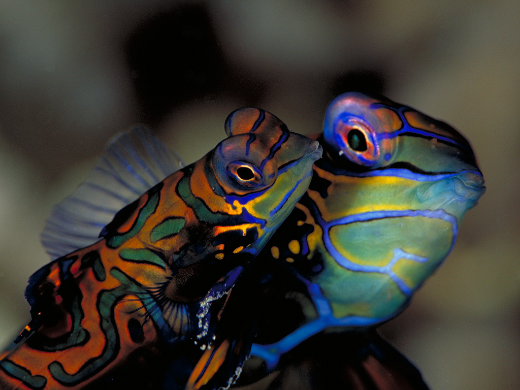 Mandarinfish (photo by Werner Thiele)