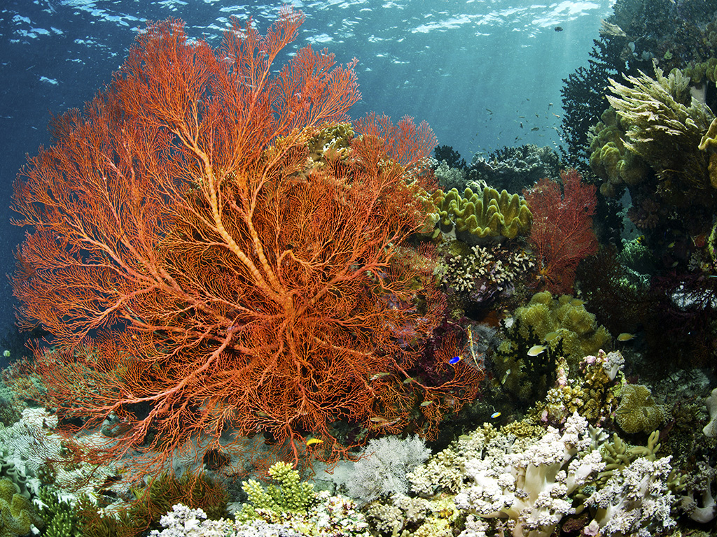 Brilliantly colored sea fans like this abound on Wakatobi's reefs.  photo by Wakatobi guest Warren Baverstock