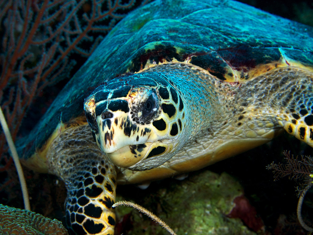 Hawksbill_photo Frank Owens