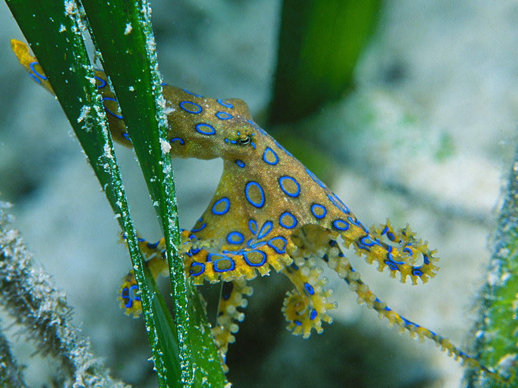 9 - Blue Ringed Octopus-photo by Doug Richardson