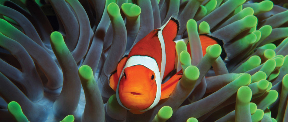 False Clownfish