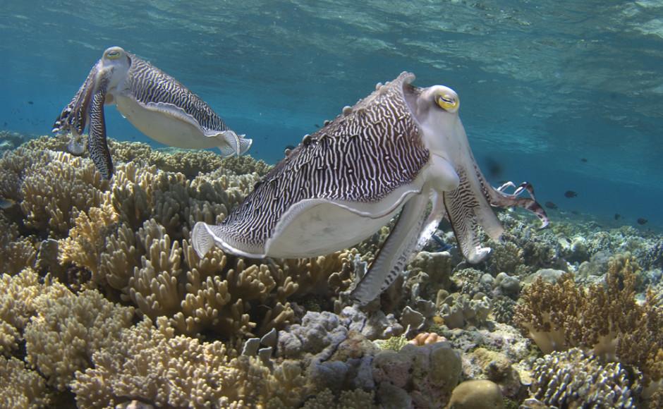 Cuttlefish_Mark Snyder