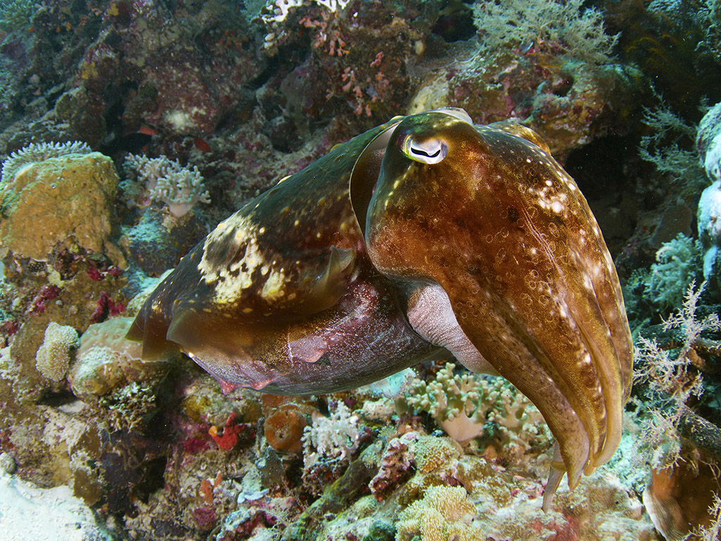 Broadclub cuttlefish. (photo by Walt Stearns)