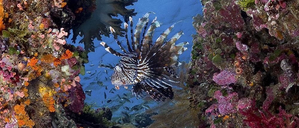 Common Lionfish / Pterois volitansp,Wakatobi House Reef, South Sulawesi, Banda Sea,Indonesia