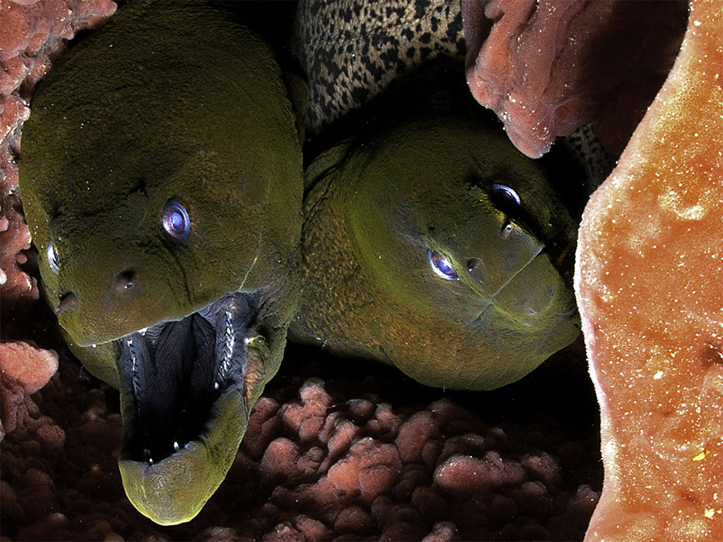 Moray eels are carnivorous animals, feeding mainly on other fish. (photo by Luc Eeckhaut)