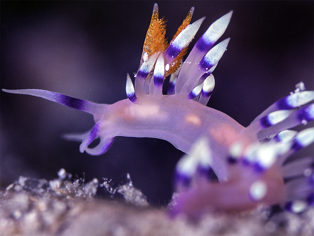 Nudibranch -TOM REYNOLDS
