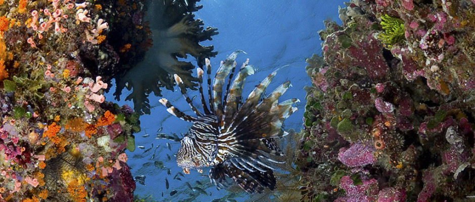 Common Lionfish / Pterois volitans