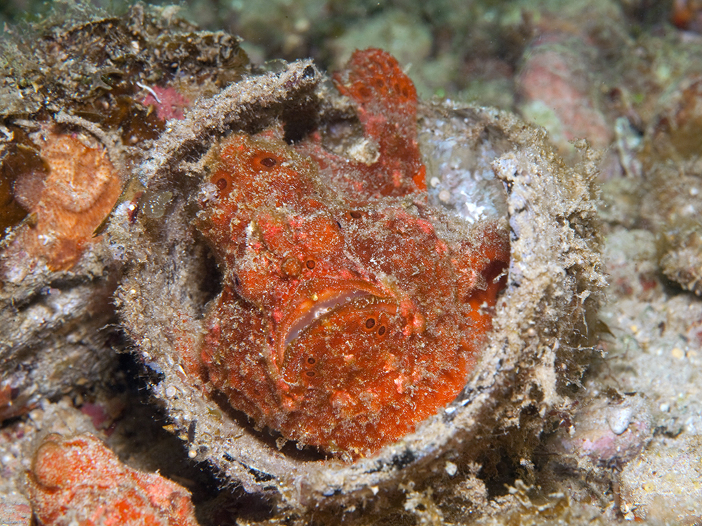 Frogfish like this little orange fellow can be found nestled, comfortably we assume, in the sandy bottom. photo by Waktobi guest Saskia van Wijk