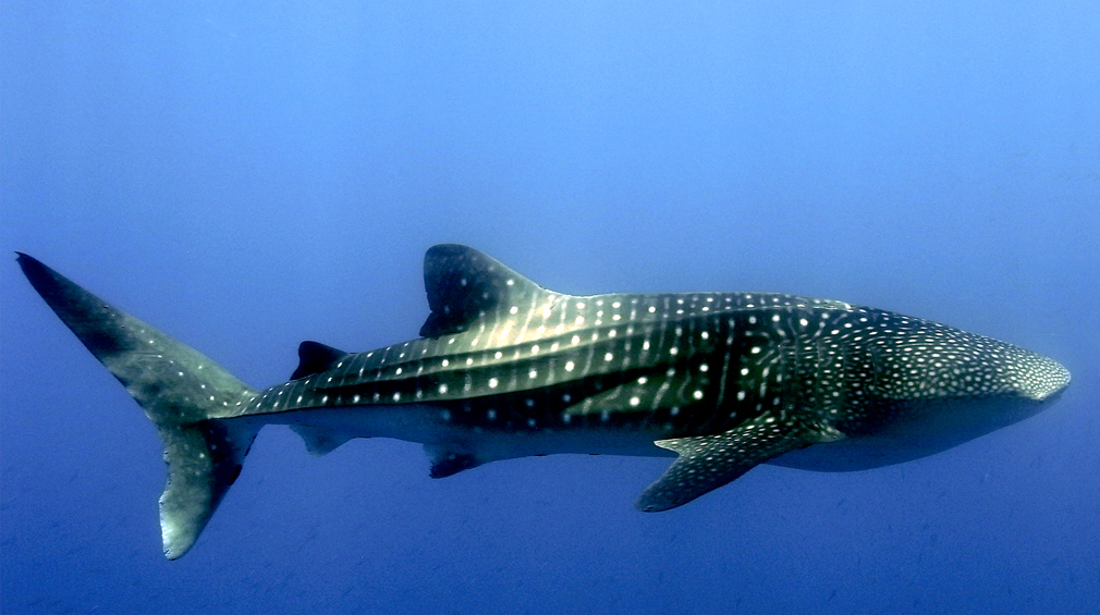 Whale Shark photo by Wakatobi guest Kirk Stolzenburg