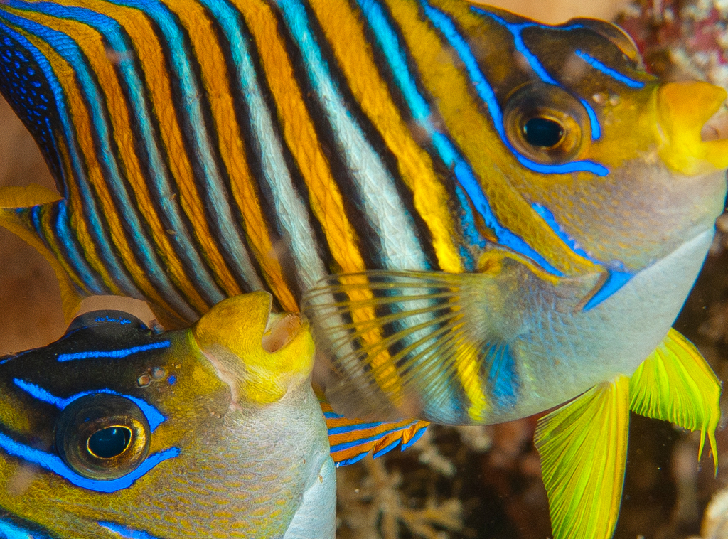 Angelfish photo by Wakatobi guest Mark Vandelinden