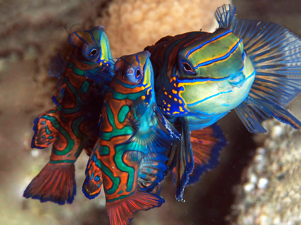 """Magic Pier is truly fantastic. Not only were there so many fish competing for mates, I saw my first ever Mandarinfish ménage-a-trois!""  photo by Wakatobi guest Richard Smith"