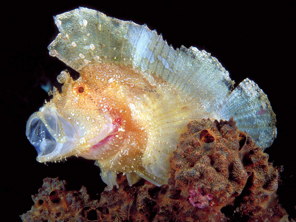 Scorpion fish are a prime example of what could be called a sitter, as they often have little reason to move. photo by Wakatobi guest Rob Darmanin