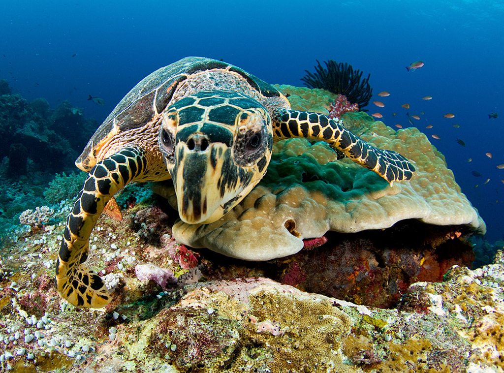Sea turtles can see fairly well in water but are shortsighted on land.  photo by Wakatobi guest John Trone