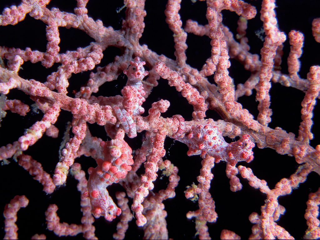Can you see all three Bargibant's pygmy seahorses in this picture? photo by Wakatobi guest Maurine Shimlock