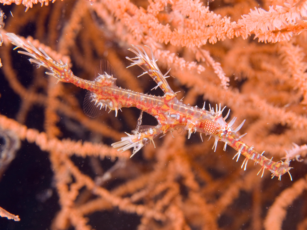 12 Ghost pipefish_walt stearns