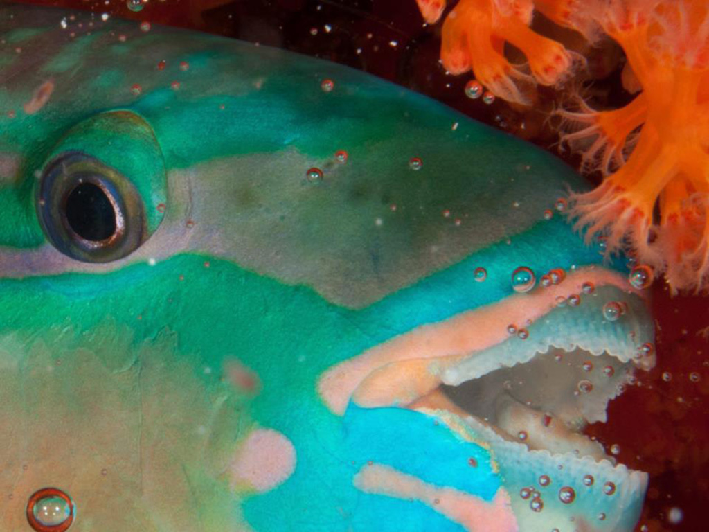 Parrotfish tucked in for the night. photo by Wakatobi guest Erik Schlogl