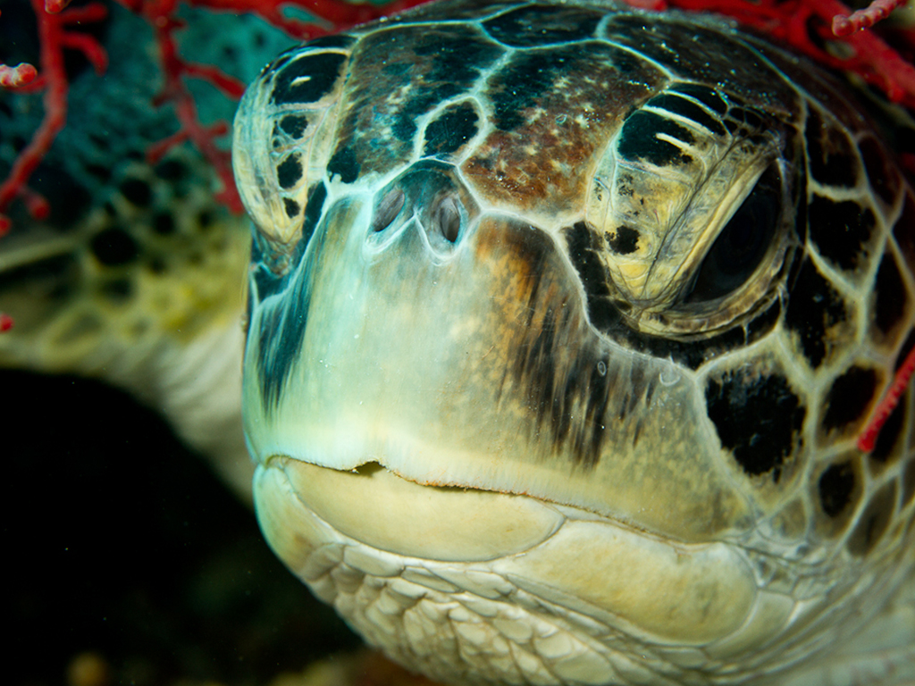 A curious Green Turtle can surprise you when you least expect it! photo by Wakatobi guest Paula Butler