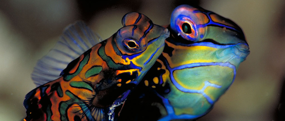 Mandarinfish_photo Werner Thiele