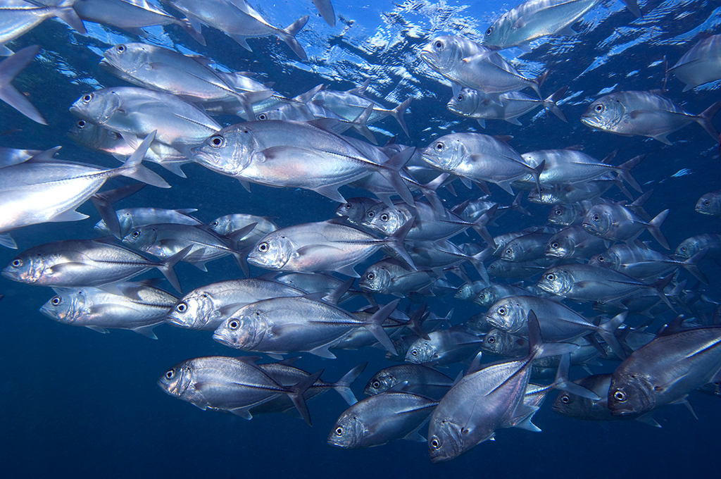 Frequently swept by currents, large schools of surgeonfish, Big-eye trevally, barracudas, and triggerfish roam overhead at Metropolis. photo by Wakatobi guest Richard Smith