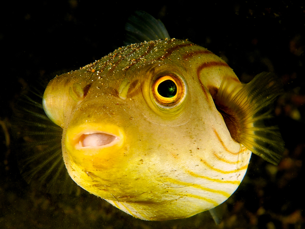 01-Cute yellow puffer_Steve Miller