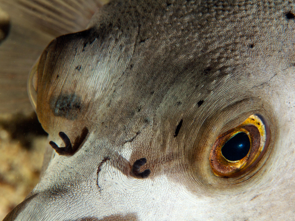 Each eye can move independent of the other, allowing the puffer to scan for threats across a wide range of vision.  photo by Wakatobi guest Paula Butler