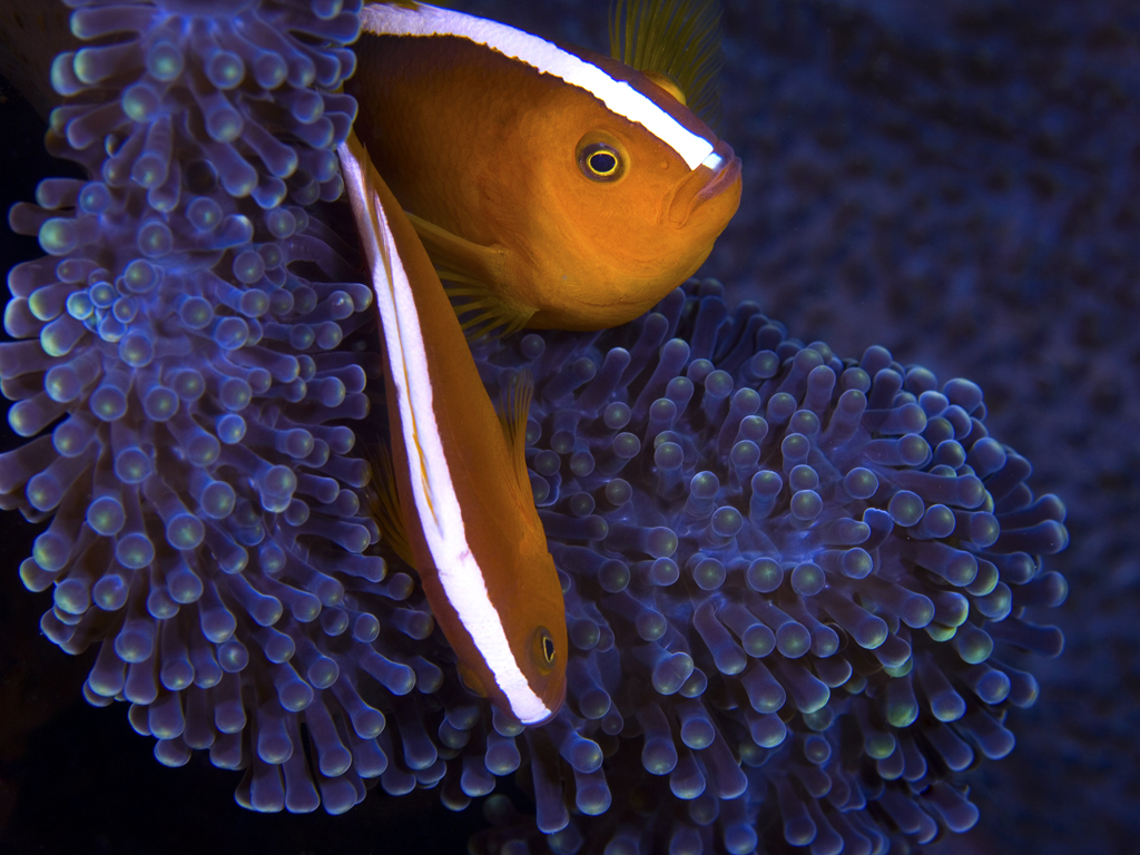Close to half of the 25 listed species of anemonefish in the Indo-pacific are found in Wakatobi's waters. photo by Wakatobi guest Rodger Klein
