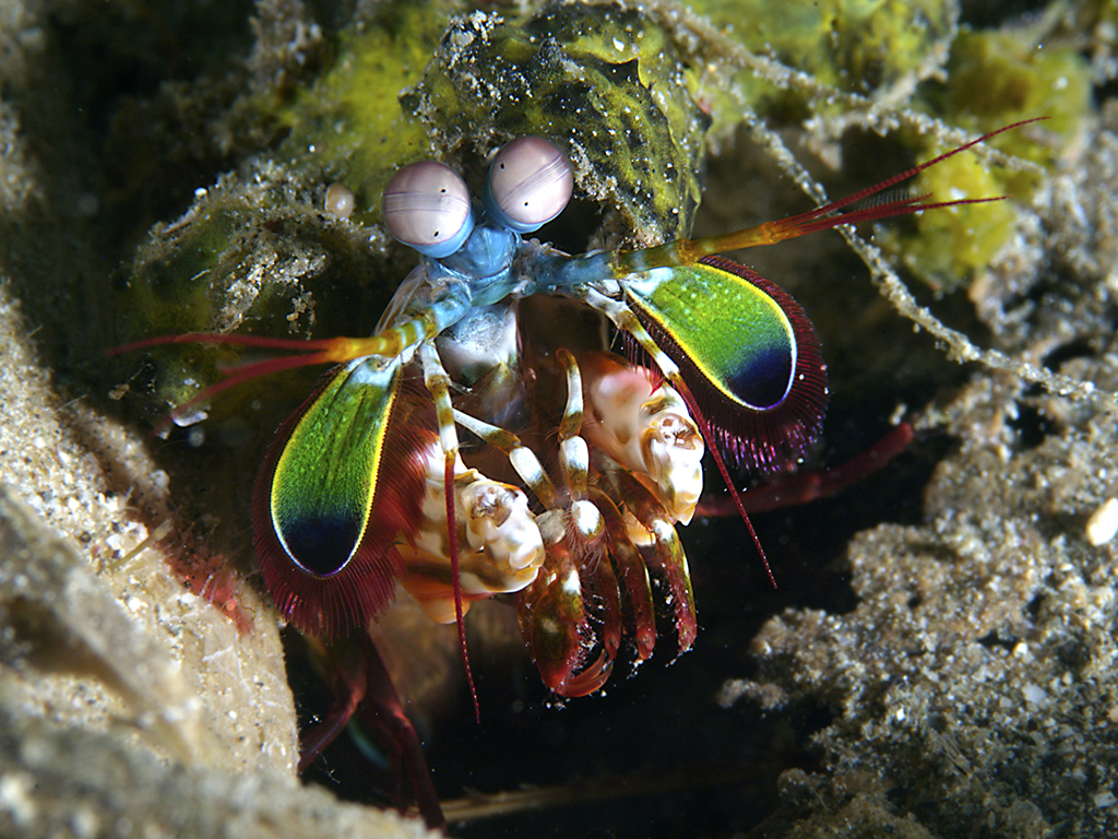 Peacock Mantis Shrimp photo by Wakatobi guest Walt Stearns
