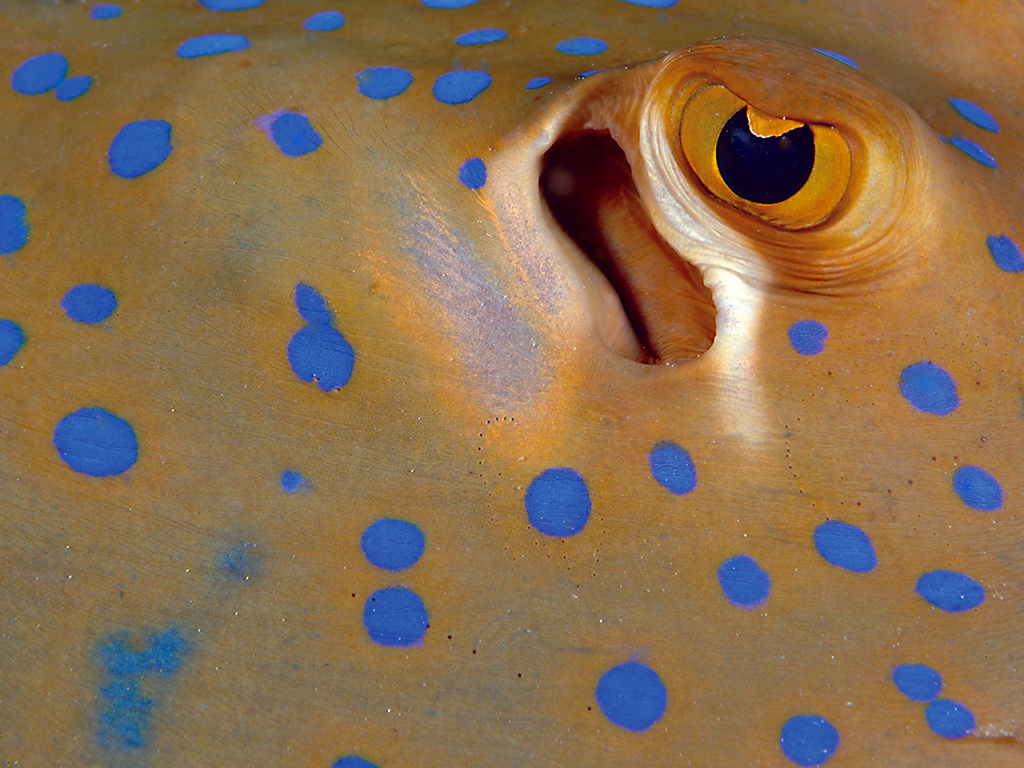 The blue spotted stingray's electric field sensors (known as ampullae of lorenzin), which form a network of jelly-filled pores on their skin to help them sense electrical stimuli. photo by Wakatobi guest Gal Goyen
