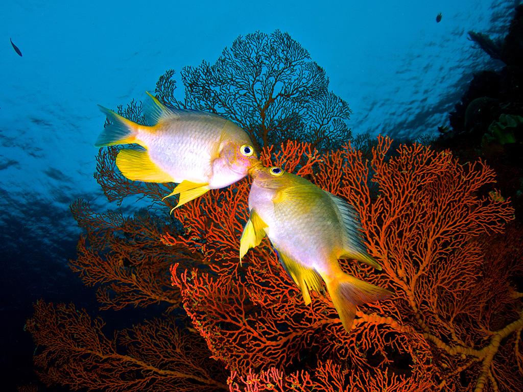 14-Sun damselfish kiss_photo by Steve Miller