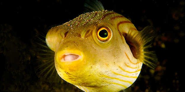The puffer's bulging eyes and n elongated snout gives them a puppy dog-like appearance. Photo by Steve Miller