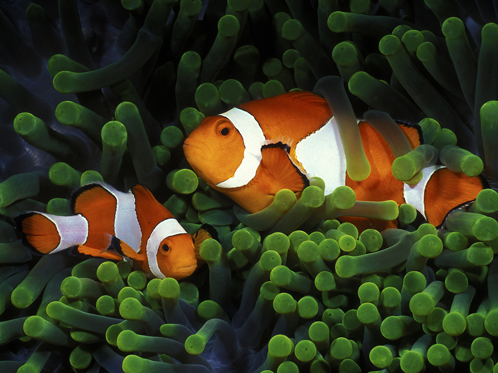 This 'couple' of false clown anemonefish were photographed on Wakatobi's house reef just under the jetty bar. (photo by Mark Strickland)