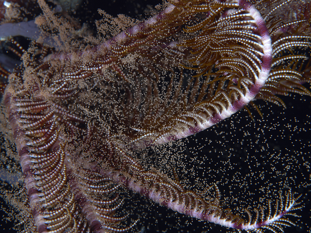 Crinoid releasing eggs (photo by Richard Smith)