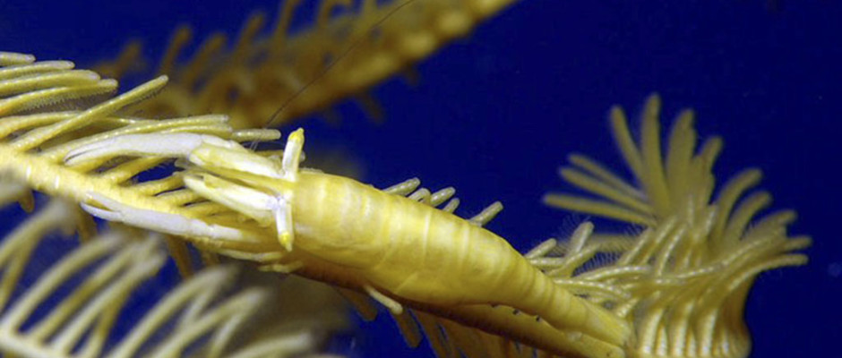 Crinoid Shrimp_yellow_Ken Knezick