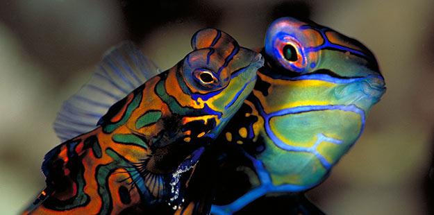 Wakatobi-Mandarinfish