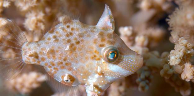 juvenile-filefish-Richard Smith