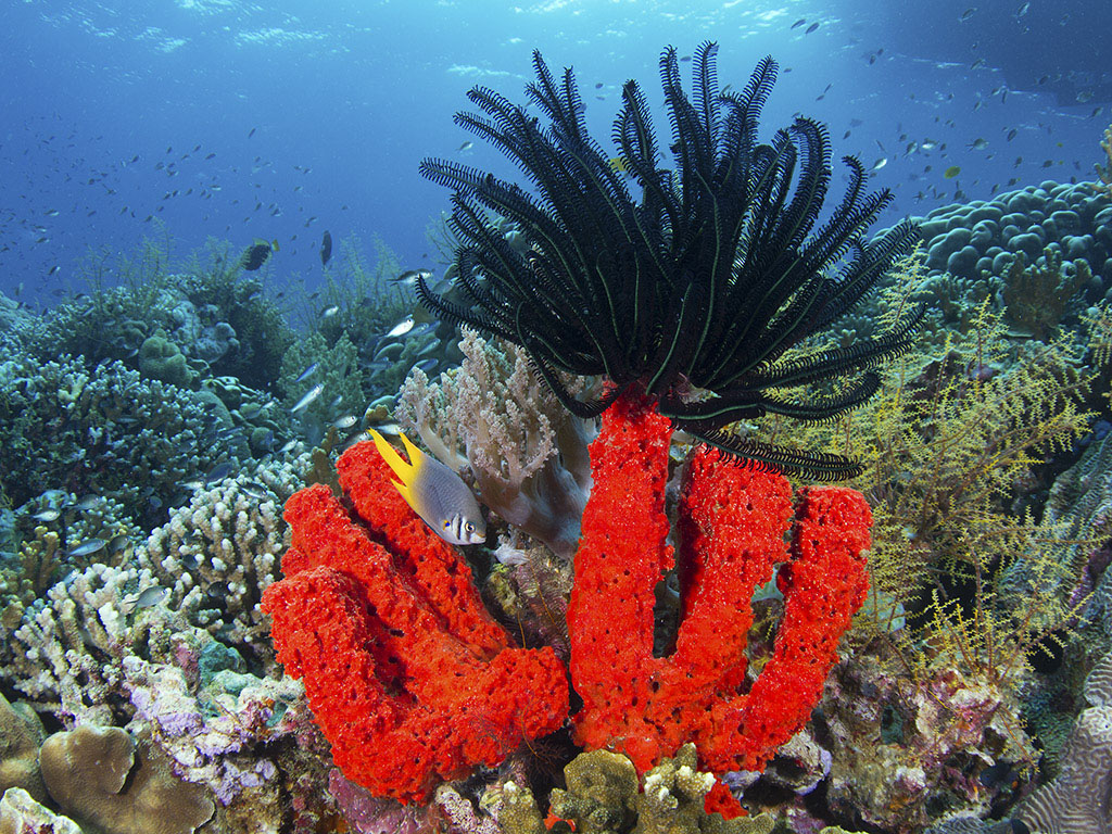 Red tube sponge with Crinoid