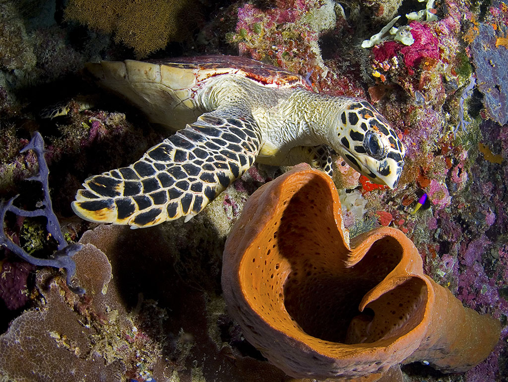 Hawksbill Turtle prepares to feast on a sponge