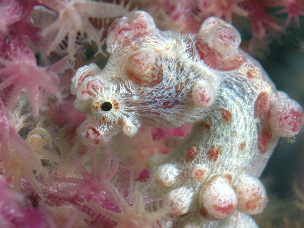 Wakatobi's dive guides are quick to find pygmy seahorses and other critters often on the photographer's wish list.  photo by Richard Smith