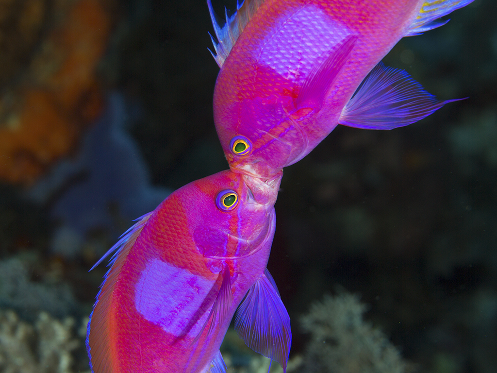 Sparring Anthias       photo by Wade Hughes