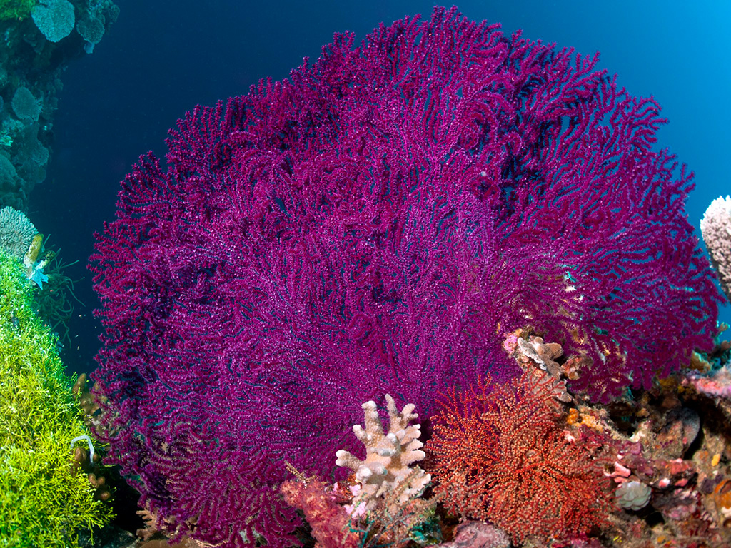 A giant purple sea gan gleams in the midday sun.  Photo by Allan Saben