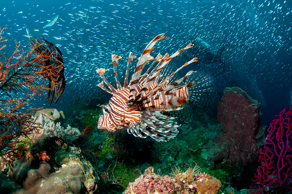 The Common Lionfish is among the beautiful fish on the coral reef.  Photo by Allan Saben
