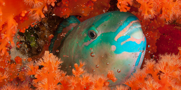 Parrotfish emerges from cocoon_photo by Erik Schlogl
