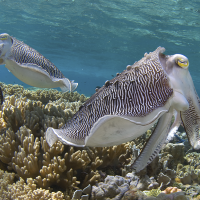 Cuttlefish_photo by Mark_Snyder