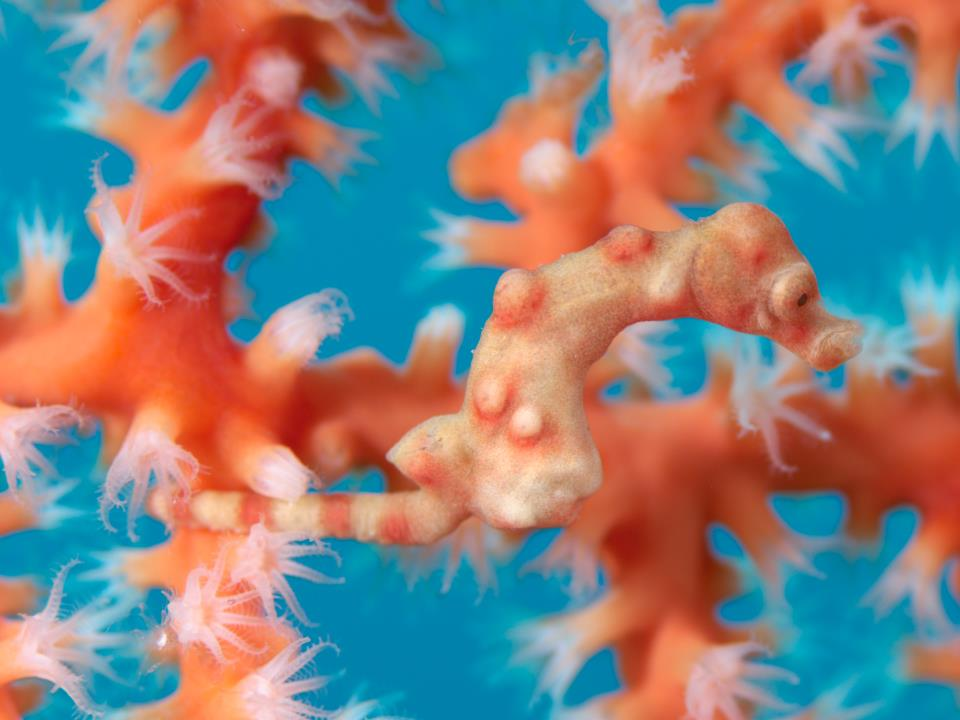 Pygmy Seahorse _Richard Smith