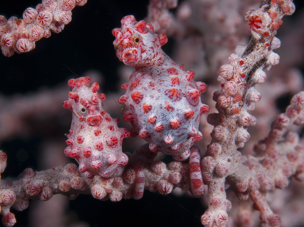Richard.Smith_Pygmy.Seahorses_images.UWJ_03