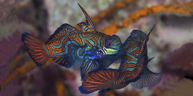 """This was mandarinfish utopia. I had waited so long to be here, and it was surpassing my expectations in spade loads,"" says photographer Nigel Wade Photo by Nigel Wade"