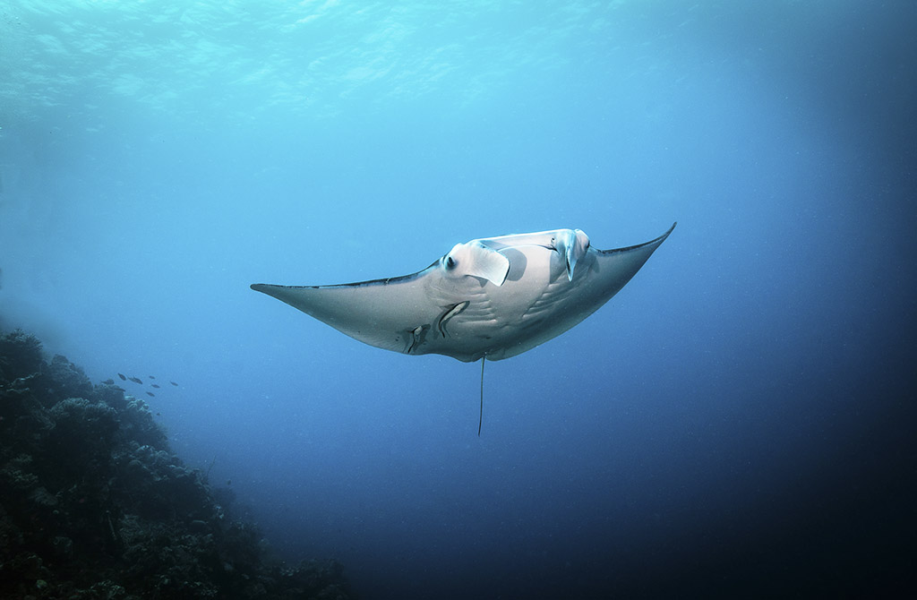 "Diving ""silent,"" or without bubbles, often enables the divers to get closer to marine life such as this reef manta.  photo by Wayne MacWilliams"