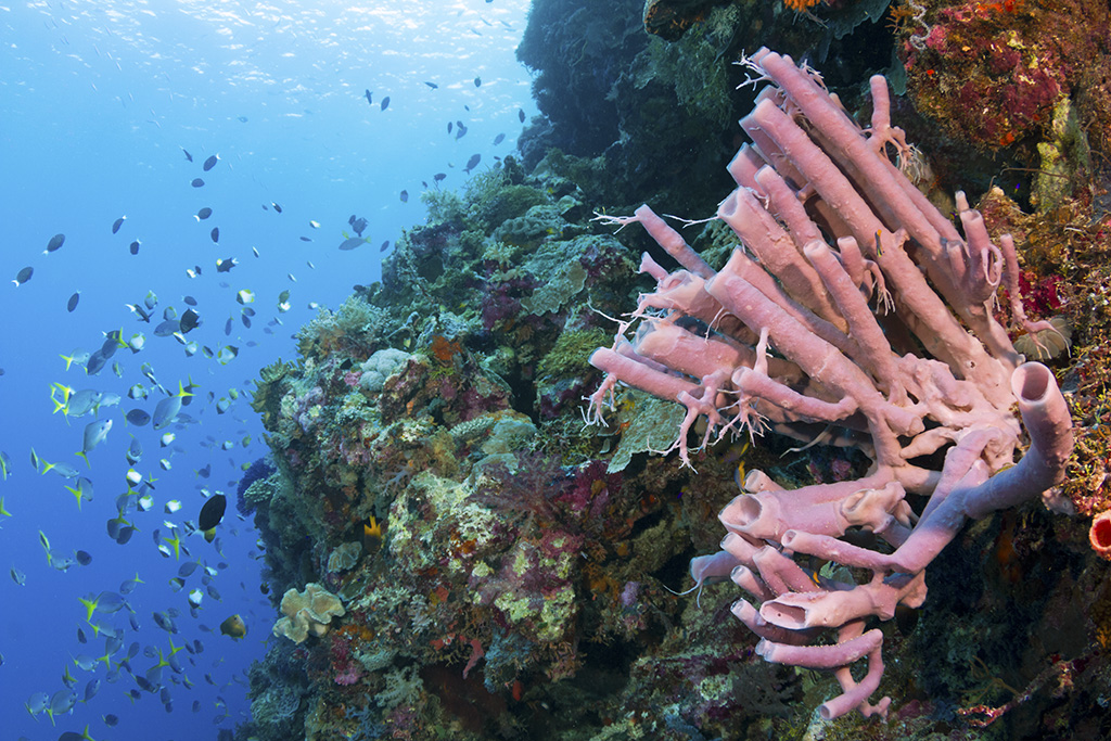 Sponges on wall house reef Wakatobi-photo walt stearns